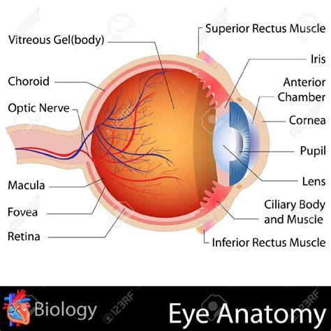 the diagram anatomy eye diagram human anatomy diagram