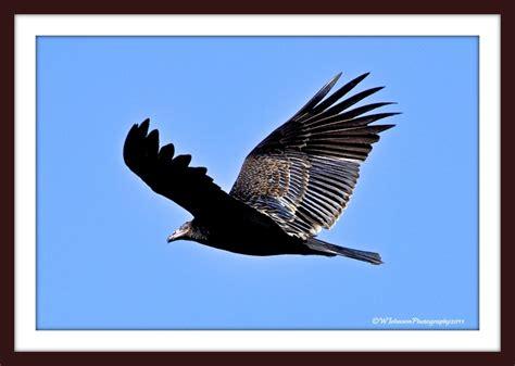 top 28 san diego birds of prey birds of prey migrating