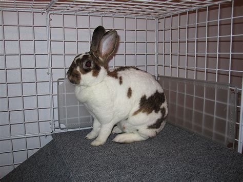 brown and white breeds brown and white rabbit breed
