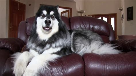 giant alaskan malamute on couch alaskan malamute owns couch youtube