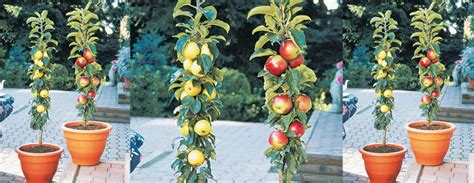 vertical fruit trees columnar fruit trees ideal for growing in tubs on patios