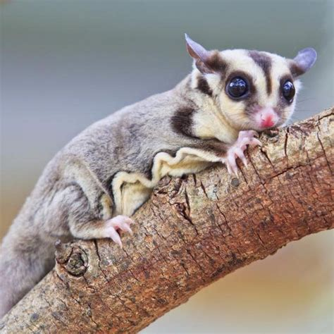 Sugar Glider Series best 20 sugar glider care ideas on sugar bears sugar gliders and sugar glider baby