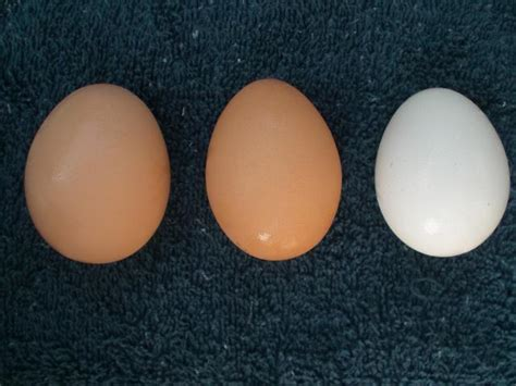 buff orpington egg color what the heck my buff orpington laid a white egg