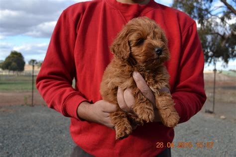 miniature schnoodle puppies miniature schnoodle puppies for sale
