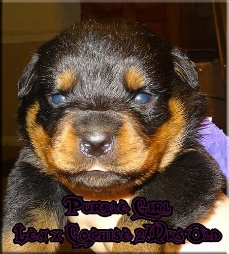 rottweiler for sale mn rottweiler breeders rottweiler puppies for sale german rottweilers for sale