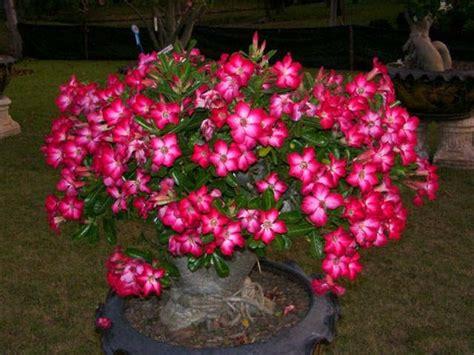 wallpaper bunga adenium cara merawat bunga adenium di rumah tanaman hias