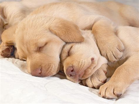 sleeping puppy sleeping golden retriever puppies photo and wallpaper beautiful sleeping golden