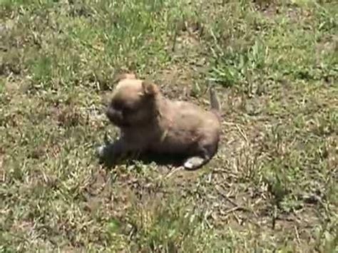 teddy puppies for sale in va teddy teacup morkie puppies for sale near richmond virginia funnydog tv