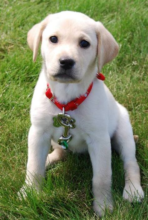 yellow lab mix puppies yellow lab mix the rascals shelter