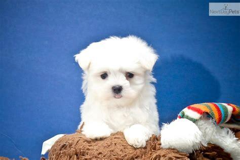 teacup puppies for sale in ohio 200 maltese puppy for sale near cleveland ohio 3e6f870c 2e41