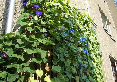 karl förster garten potsdam ipomoea tricolor heavenly blue riesentrichterwinde