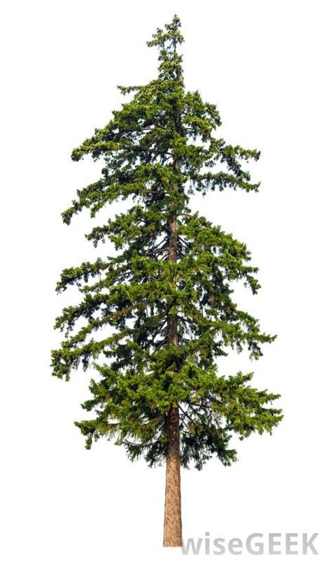 gallery identifying types of pine trees