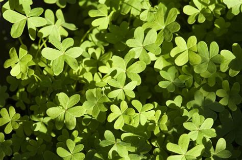 Picture Of Wed by Oxalis Techniques Types Of Oxalis Weeds And