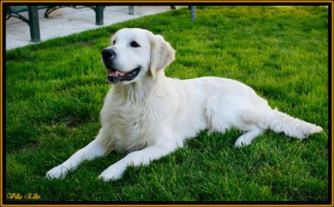 golden retriever blanco dudas para decidirme golden retriever perros