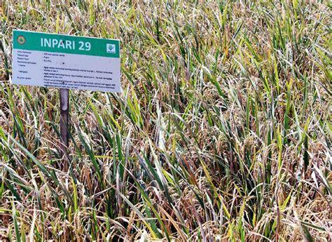 Bibit Jambu Air Karawang seri padi unggul 2 padi inpari 29 tahan rendaman