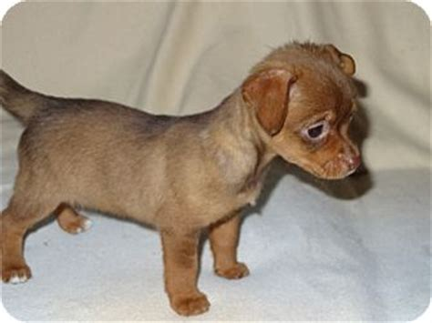 dachshund chihuahua mix puppy tami adopted puppy wilminton de chihuahua dachshund mix