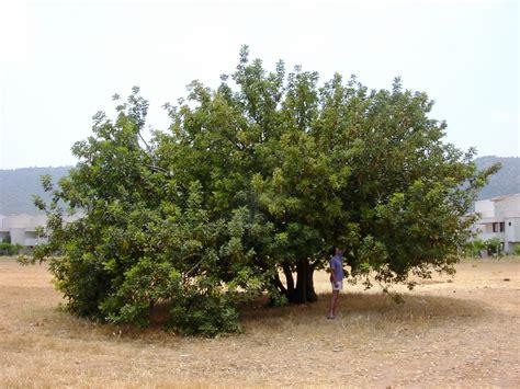 Tree L by Carob Tree Ceratonia Siliqua L