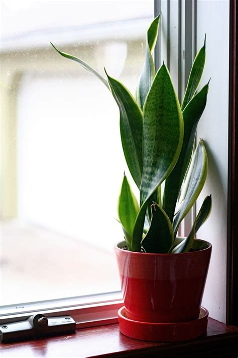 Indoor Window Sill Plants Best Houseplants For Low Light Almost The Real Thing