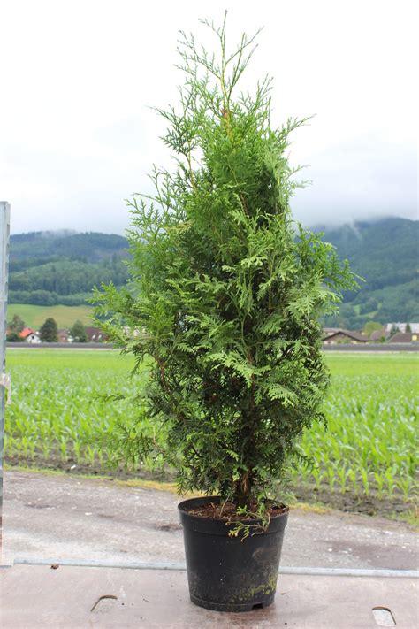 thuja brabant schneiden thuja occidentalis brabant heckenpflanzen ihr lubera