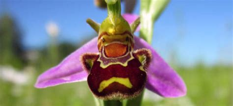 Facts About Orchids by Facts About The Bee Orchid Orchidsplus