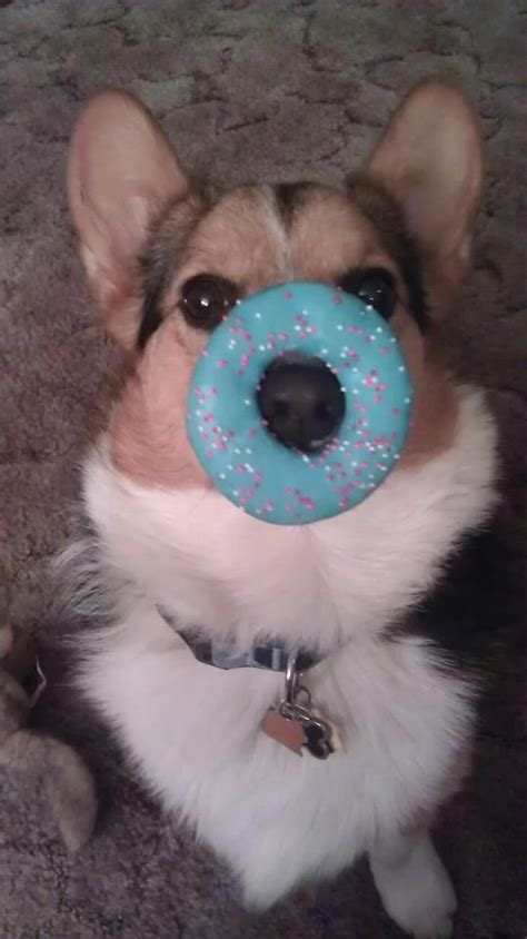can dogs eat donuts donut corgi hahahaha no way would bogart sit still that thing would been eaten