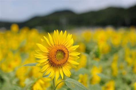 wallpaper bunga matahari kuning bidang biji bunga