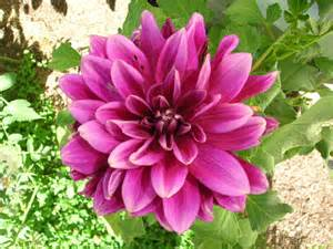 dahlias how to plant grow and care for dahlia flowers