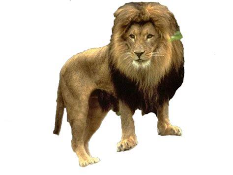 imagenes de leones en movimiento gifs im 193 genes de leones