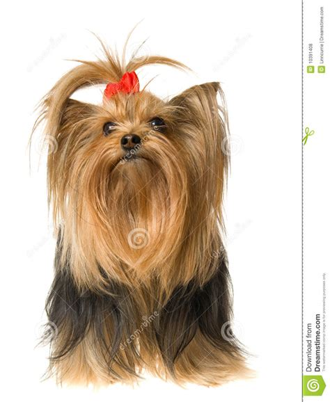 beautiful yorkies beautiful yorkie on white background stock photo image of active friendly 10391408