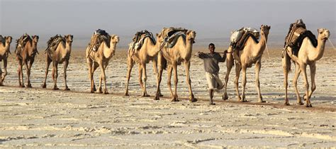 Russ Camel 2 Others the corroding quot lead camel quot effect foreign policy blogs
