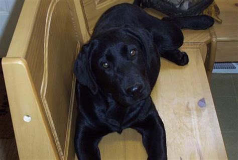 black lab puppies for sale wi labrador retriever puppy labrador retriever for sale labrador retriever breeders lab