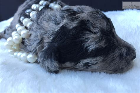 aussiedoodle puppies for sale nc aussiedoodle puppy for sale near jacksonville carolina c77a9bbd 3cb1