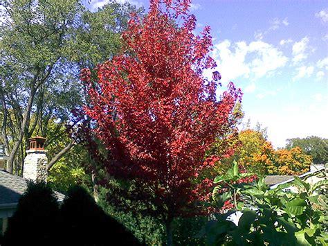 maple tree price autumn blaze maple tree farm nursery sale arbor hill