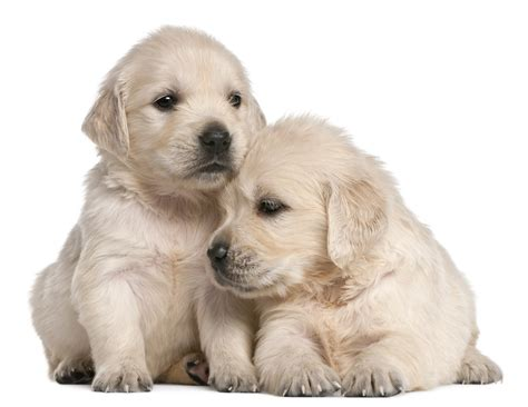 cancer free golden retriever breeders golden retriever
