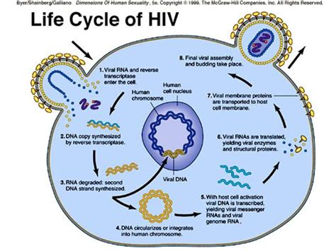 Two Simple Home Made Aids For Your by Hiv Virus Cycle Virus An The O Jays