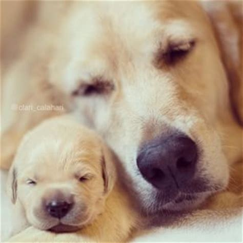 golden retriever puppies in louisiana best 25 baby golden retrievers ideas on golden retriever puppies