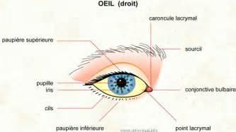 l oeil et le nerf optique