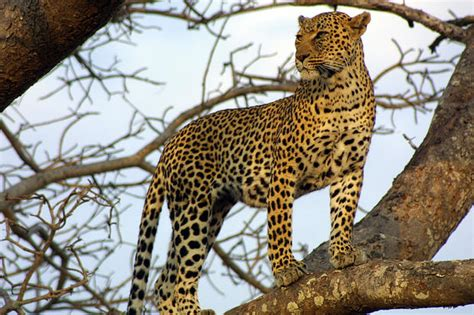 difference between jaguars and leopards what s the difference between a jaguar and a leopard