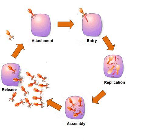 lytic cycle diagram view resource virus reproduction gateway