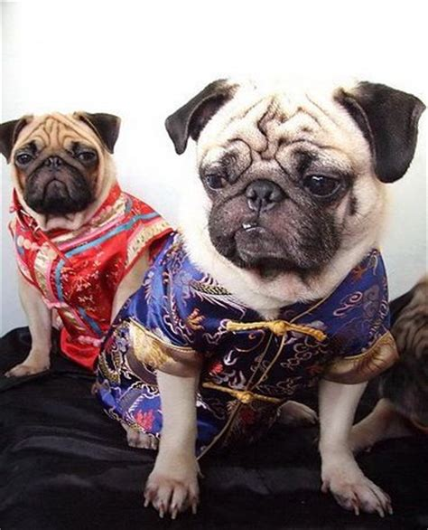 pugs in china 1000 ideas about foo on foo tattoos and tattoos