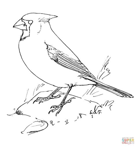 northern cardinal coloring page free printable coloring