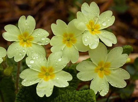 nomi fiori primaverili fiori primaverili fiori delle piante variet 224 fiori