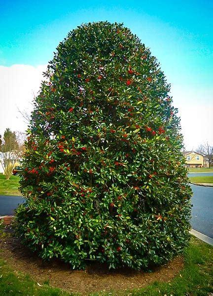 buy nellie stevens holly   tree center