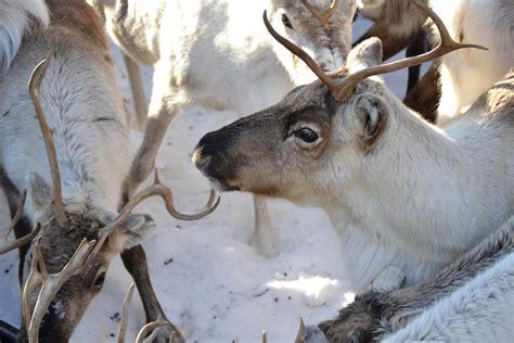 imagenes navideñas renos im 225 genes de renos imagui