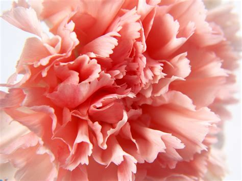 Colored Carnations – How To Make Colored Flowers
