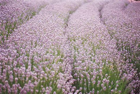 Lavender Pink seeds lavender seeds ellagance pink 10 lavender seeds
