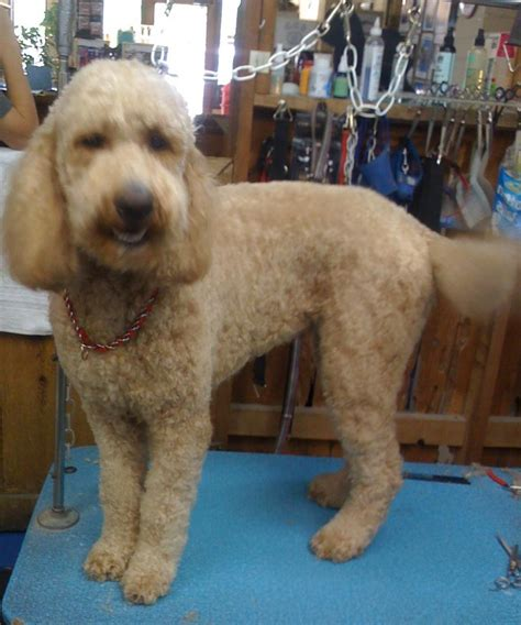 goldendoodle puppy ranch mustard seed ranch goldendoodles home breeds picture