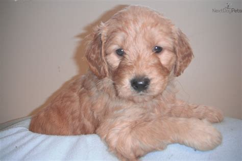 goldendoodle puppy not goldendoodle puppy for sale near ogden clearfield utah