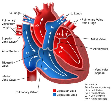 blood flow through the diagram step by step how does blood flow through the new health advisor