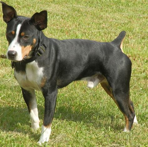 Does A Rat Terrier Shed by Rat Terriers Breeds Picture